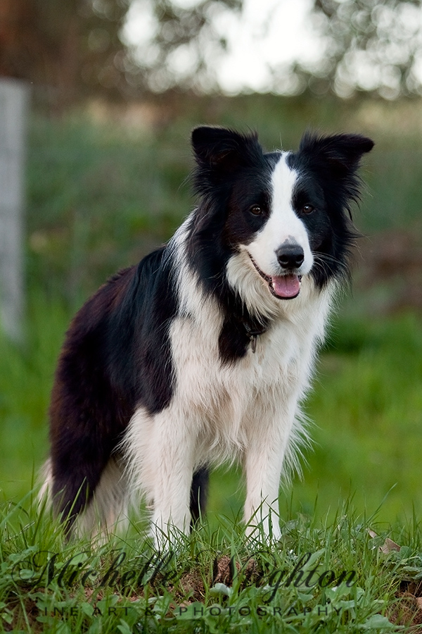 Taj - Border Collie