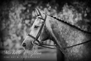 Grey Show Horse in Black and White